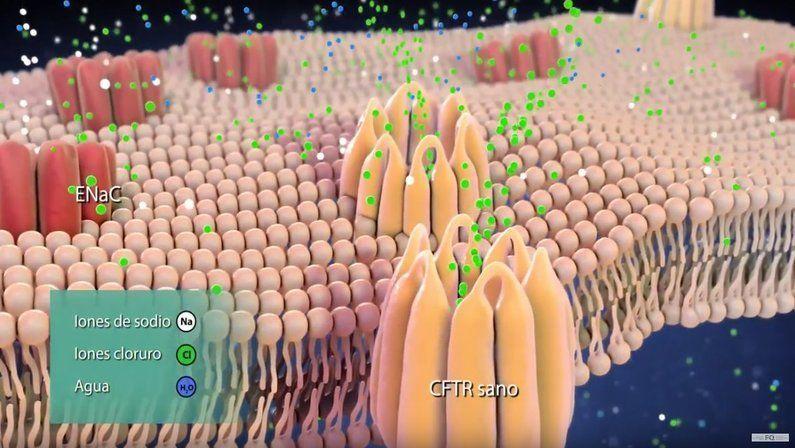 proteina cftr fibrosis quistica